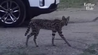 Serval Cat Found Not On The Lands Of Africa, But Suburb Of South Korea?! | Kritter Klub