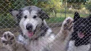 Смешной щенок Маламута. A funny puppy of Malamute.