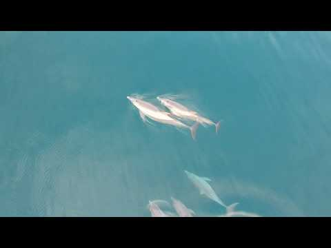 Dolphins Eating Squid