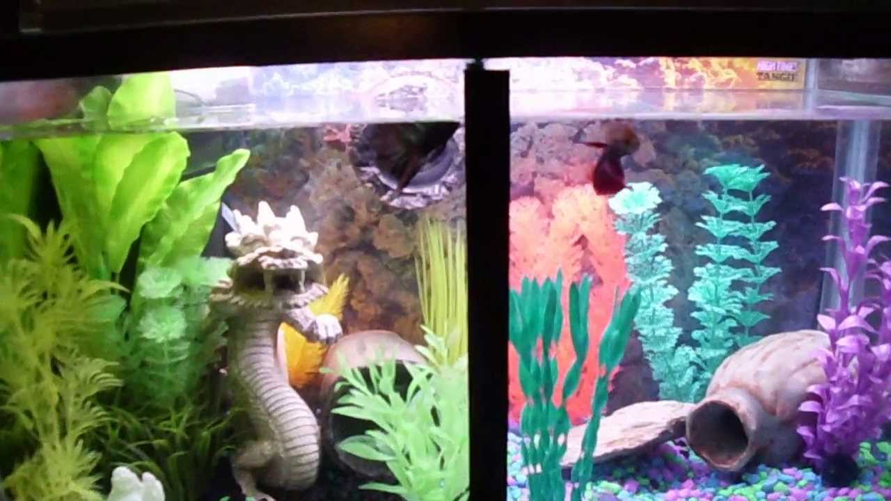 Awesome two betta fish trained to jump for food in split for Split fish tank