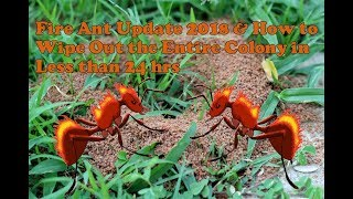Fire Ant Update 2018 How to kill the whole ant colony in less than 24 hrs