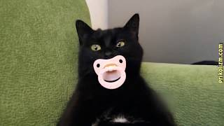 Приколы с котами,британские кошки,ржака