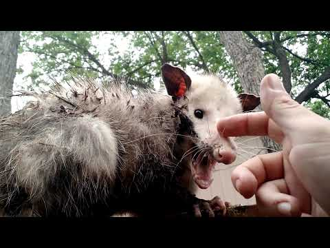 Petting a Vicious Old Opossum
