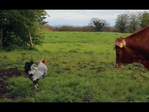 Crazy Cockerel ATTACK'S Bulls