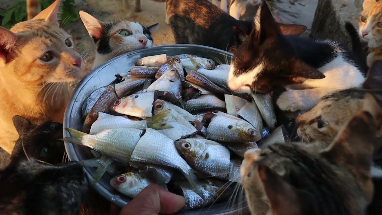 Feeding cats eating yummy fish - Kitten eating raw fish | The Gohan Dog And Cats