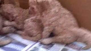 Standard Poodle Puppies.  4 Weeks Old.  A