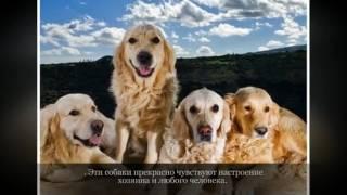 Золотистый ретривер Крупные породы собак