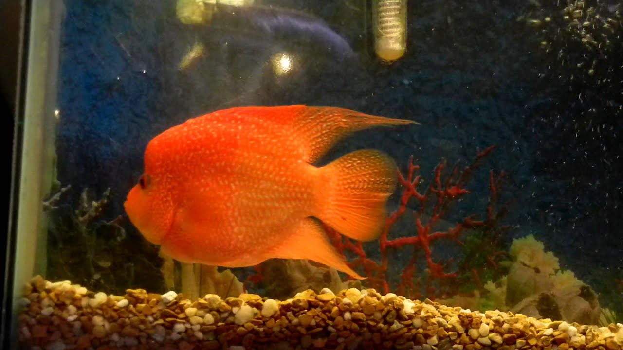 flowerhorn orange - youtube