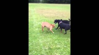 5 Month Old Dogue De Bordeaux Takes On Rottweiler And Labra