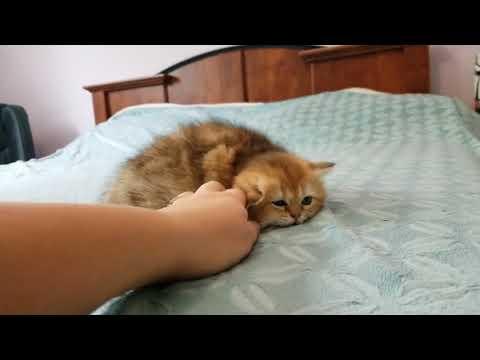 Golden chinchilla kittens