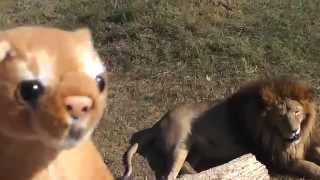 Видео для детей про животных. Поход в зоопарк(Сегодня маленький игрушечный львенок отправился в зоопарк посмотреть на настоящих животных. Давайте посмо..., 2015-10-15T20:19:08.000Z)