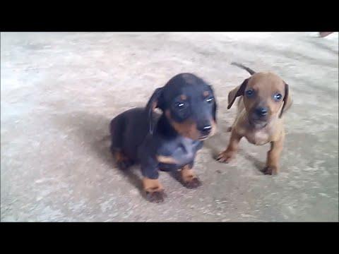 Cute Dachshund Puppies Charming Always