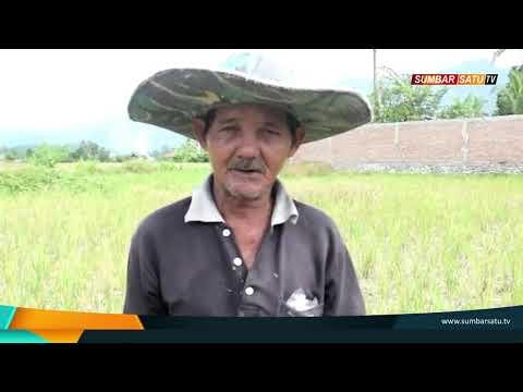 Dilanda Kemarau, Puluhan Hektar Sawah Petani di Padang Gagal Panen