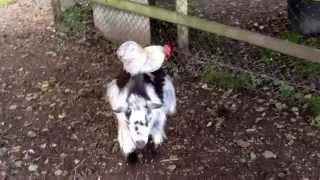 Chicken riding a goat
