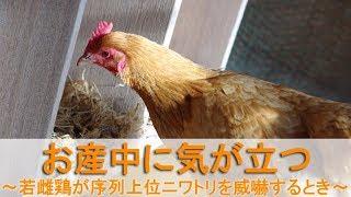 """2017年12月中旬のこと。 生後7ヶ月を過ぎた名古屋コーチン若雌鶏""""かえで..."""