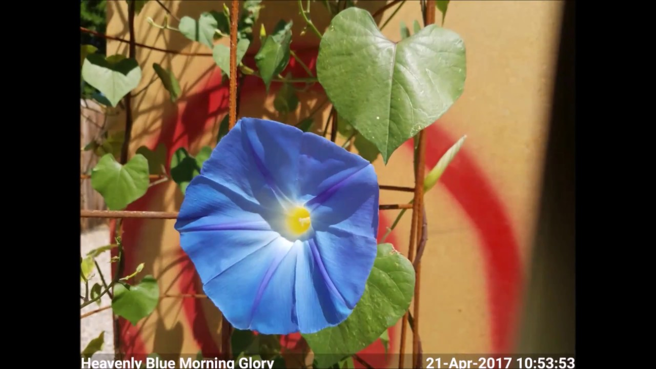 Heavenly Blue Morning Glory Blooming Time Lapse Youtube