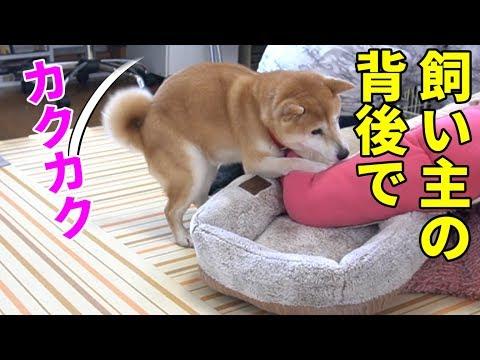 柴犬小春 【気遣い?】飼い主の背後で腰をカクカク!雌犬だってマウンティング