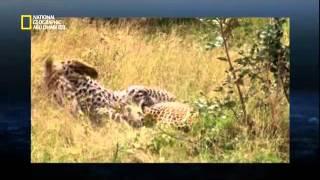 صراع تزاوج الحيوانات البرية 3