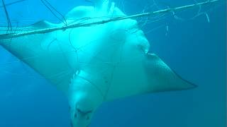 Operation Apex Harmony: Eagle Rays left to die in shark nets in Australia