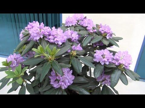 Рододендрон (растение) – полезные свойства рододендрона