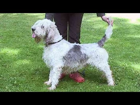 Dog Breed Video: Grand Basset Griffon Vendeen