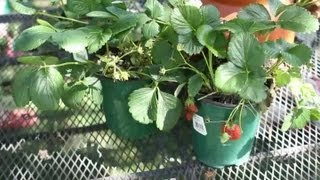 How to Promote Strawberries : Garden Space