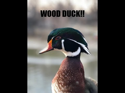 WE KILLED A RARE WOOD DUCK!  Duck Hunting 2017