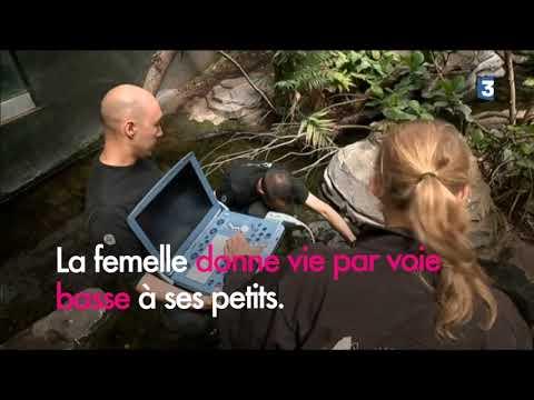 Série sur les animaux du Parc Zoologique de Paris : carnet rose pour un couple de raies d'eau