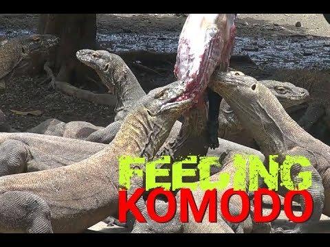 Download FEEDING KOMODO DRAGONS IN SURABAYA