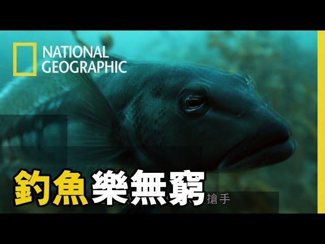 【 釣魚樂無窮 】「藍擬鱸Blue Cod,紐西蘭特有品種,生長在南部,是當地人非常喜愛的魚種!」