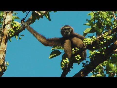 Gibbons @ Tabin Wildlife Reserve, Sabah Malaysian Borneo