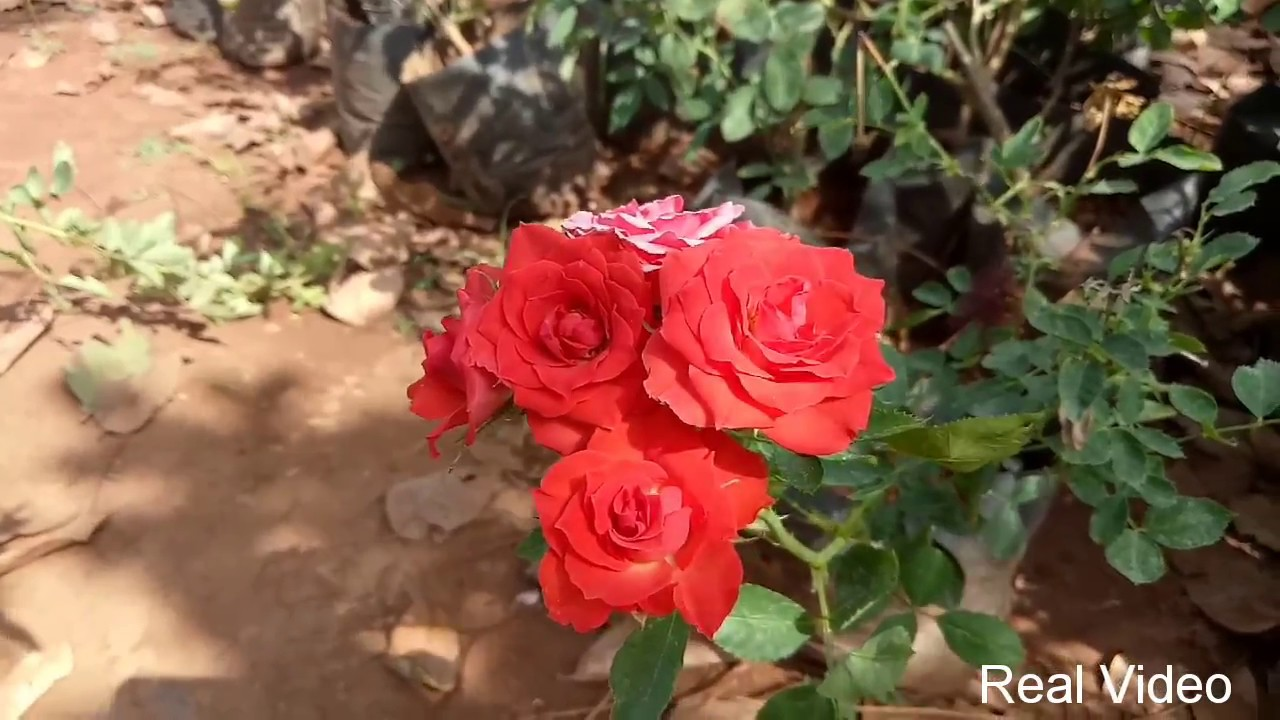 Red Rose Flowers Beautiful Rose Plant Video   YouTube Red Rose Flowers Beautiful Rose Plant Video  Real Video