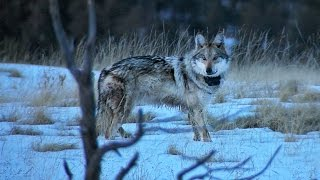 Mexican Grey Wolves Reintroduced