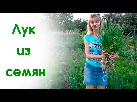 Лук из семян на зелень и головку