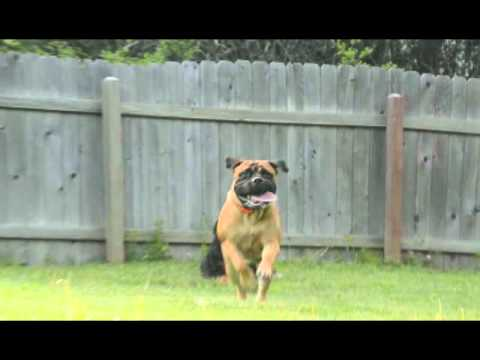Crazy Huge Dog Chasing me!  Bullmastiff with floppy ears in SloMo