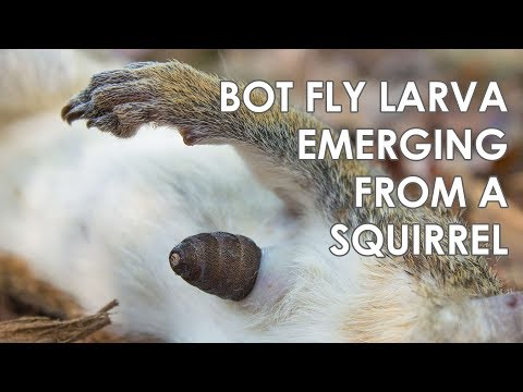 Bot Fly (Cutebra) Larva Emerging From a Squirrel