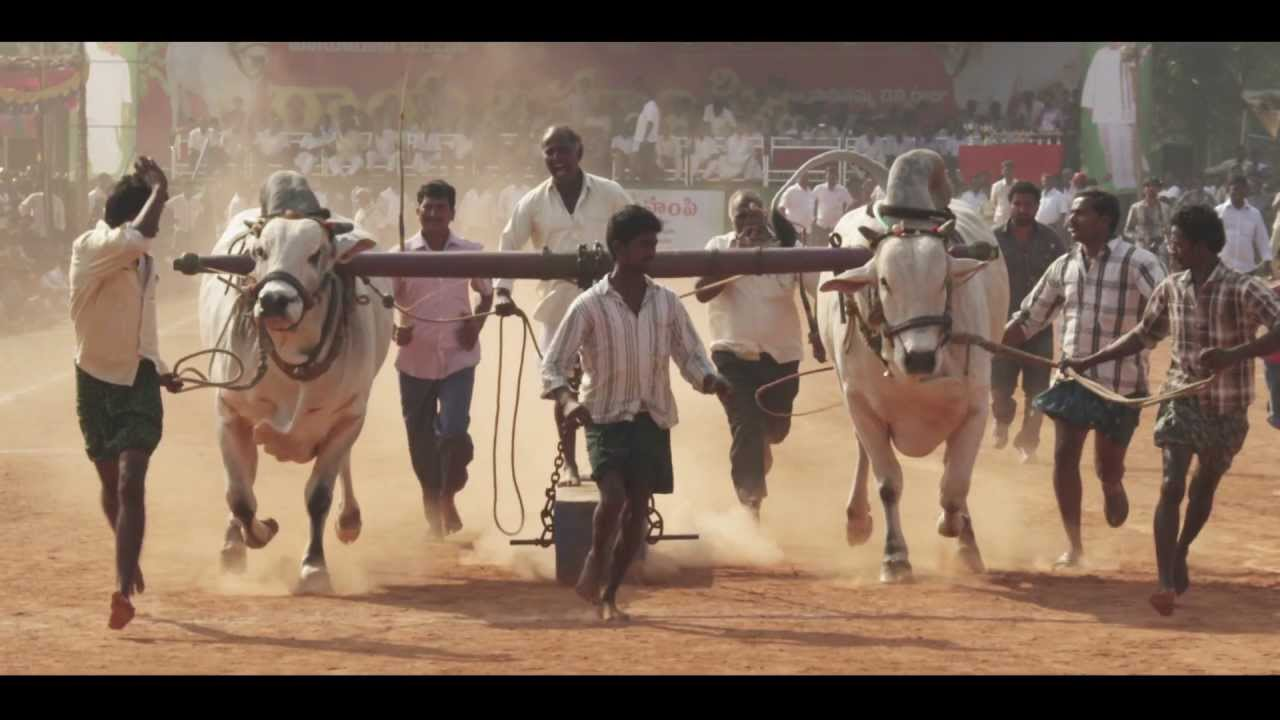 Bull Racing in India 48