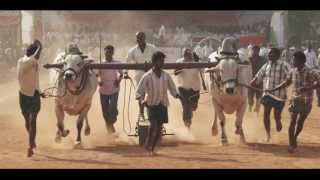Amazing Video(Bull Race)