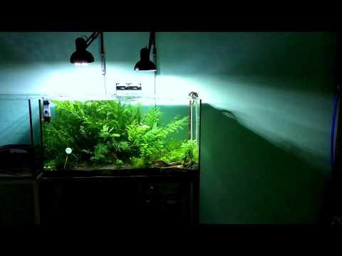 10 months bolbitis heudelotii tank