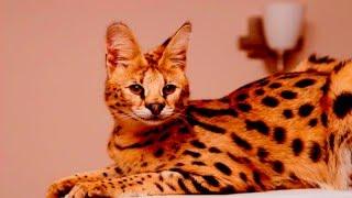 Кошки породы Сервал
