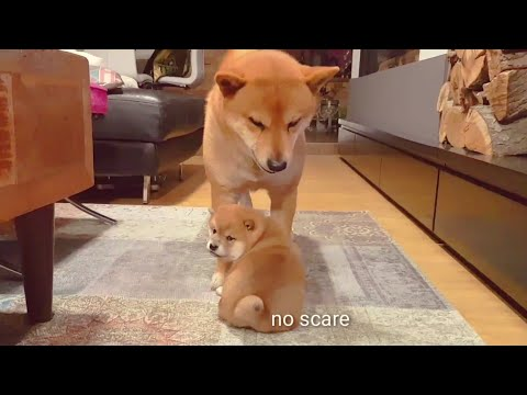 AMGERINESS vs SMOLNESS Ep04 / Shiba Inu puppies (with captions)