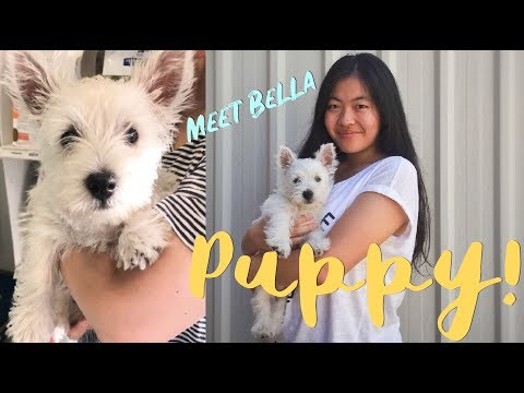 Buying a West Highland White Terrier (Westie) | I got a PUPPY!