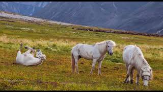Красивое фото якутских лошадей