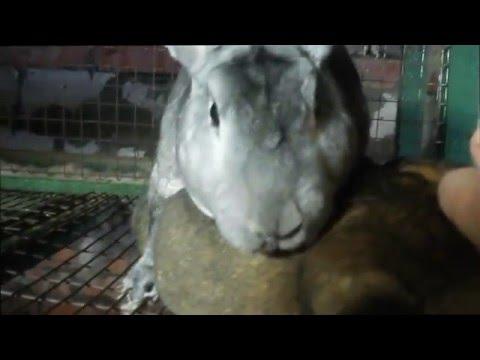 Случка кроликов без охоты 100% результат