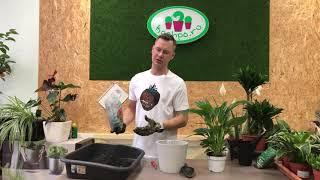 видео Комнатный цветок спатифиллум, уход в домашних условиях
