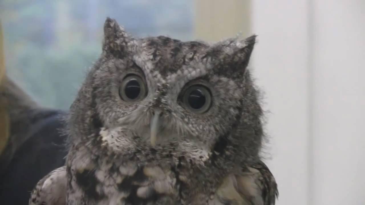 Meet the Animals: Oscar the Eastern Screech Owl
