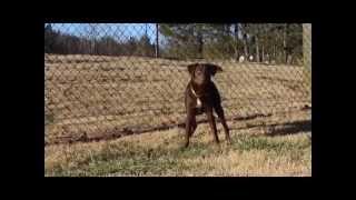 """Adopt Me! """"charlie"""" Labrador Retriever/shepherd Mix (24461989)"""