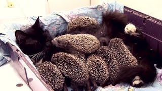 Pregnant Rescue Cat Gives Birth To Kittens And Becomes Mother To Hedgehogs!