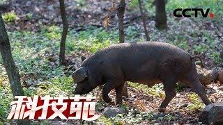 《科技苑》 20190514 越懒越要跑 跑出好猪肉  CCTV农业