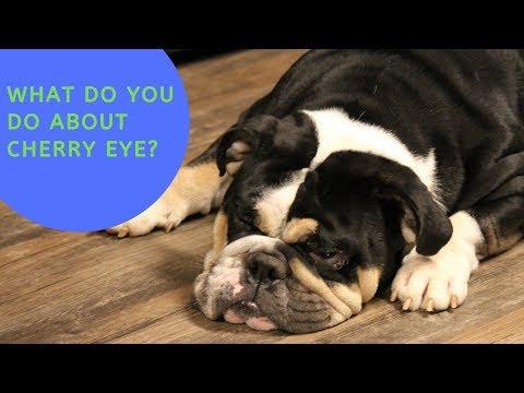How We Treated Cherry Eye (w bloopers)